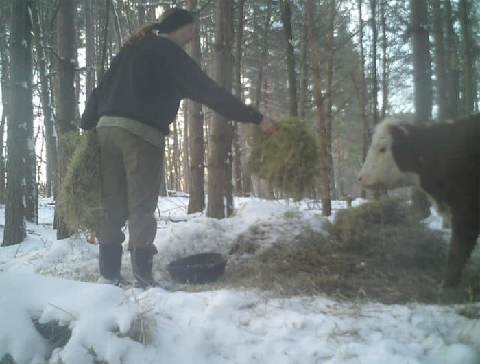 Egy tehén elmenekült a mészárszékről, és egy szarvascsaládhoz csapódva túlélte a hideg telet