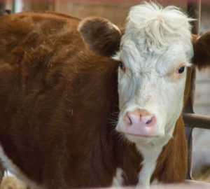 A tehén, aki elmenekült a mészárszékről és egy szarvascsaládhoz csapódva túlélte a kegyetlen telet