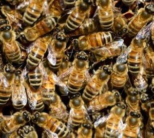 A méhek összefognak, hogy megmentsék társukat a haláltól (videó)