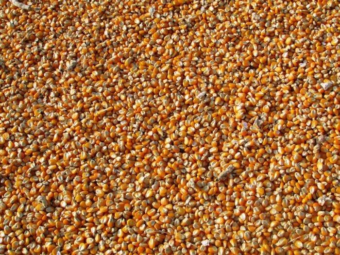 Miért káros a bolygónkra nézve a haszonállatok etetése?