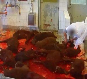 Így bánik az állatokkal a Boldog Hús nevű cég_lead