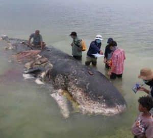 Hat-kiló-műanyagot-találtak-a-ritka-bálnafaj-gyomrában