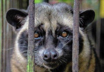 Kopi luwak kávé - az állat ürít, a kávé luxus