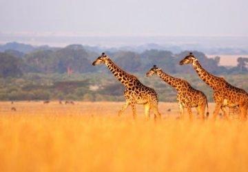 A kihalás fenyegeti a zsiráfokat