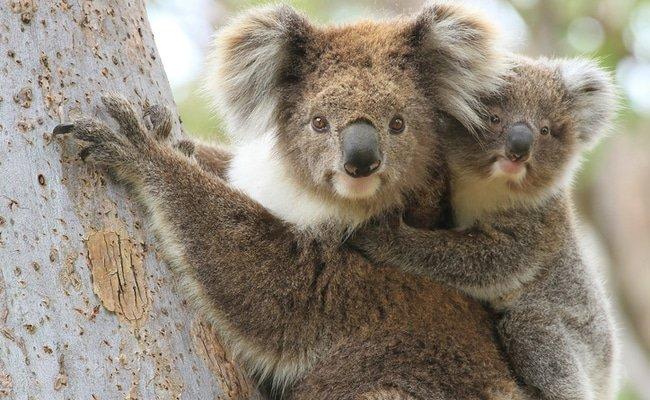 Funkcionálisan kihaltnak nyilvánították a koalákat
