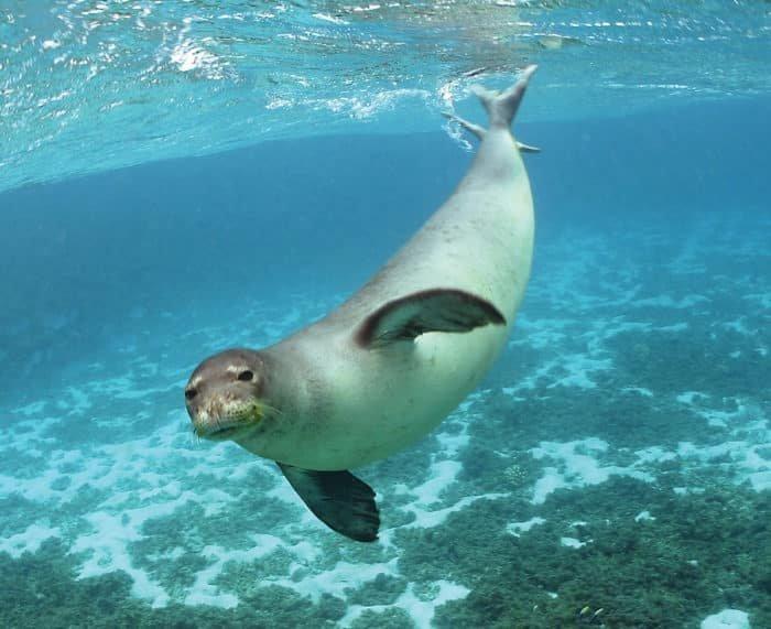 Kihalt a Karibi barátfóka