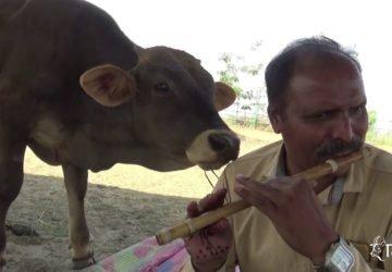 a mentett tehén hallgatja a zenét
