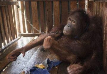 Négy ketrecben töltött év után szabad a fiatal orángután