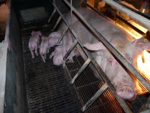 Ellető láda a húsiparban