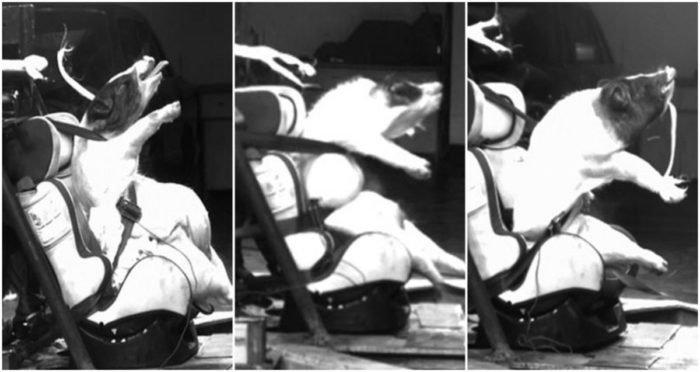 Ütközési tesztbábukat csináltak élő malacokból a kínai kutatók