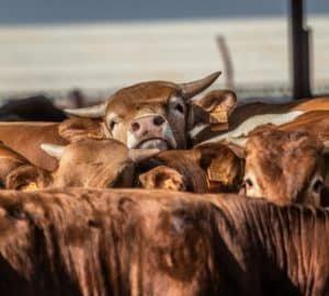 Húsipari marhák Izraelben - állattenyésztés klímváltozás