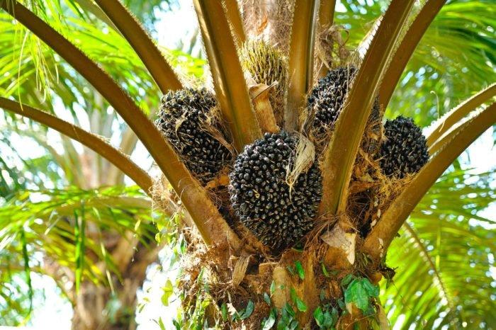 Mi az a pálmaolaj?