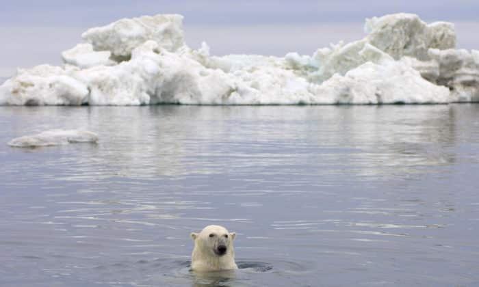 Jegesmedve klímaváltozás