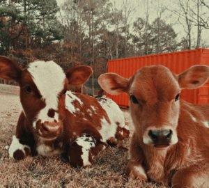 Két borjút megmentettek a tejiparból