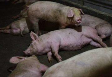Kína élve elássa és felgyújtja a fertőzött sertéseket