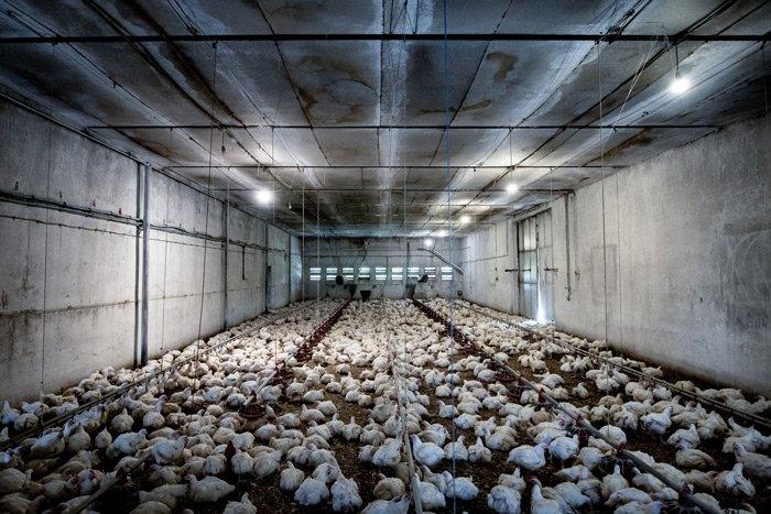 A nagyipari állattartás miatt keletkeznek a zoonózisok