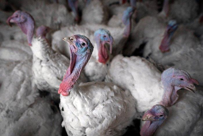 Nagyipari állattartás a vírusok melegágya