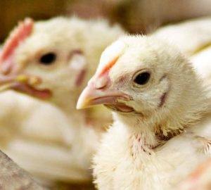 Csirkék a húsiparban