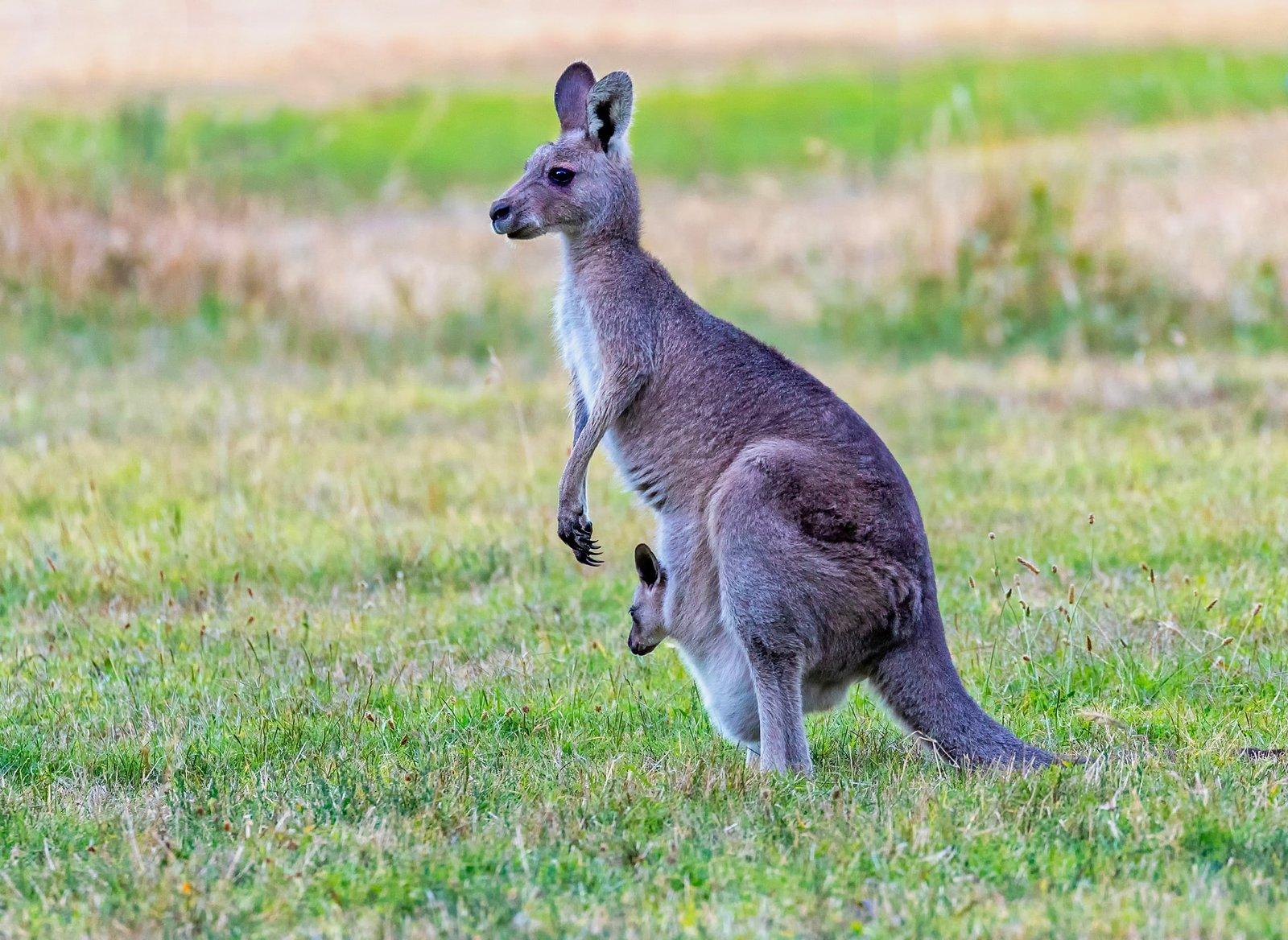 A Prada mostantól nem használ kengurubőrt