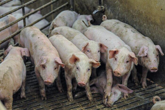 Halott társukon állnak a malacok a húsiparban