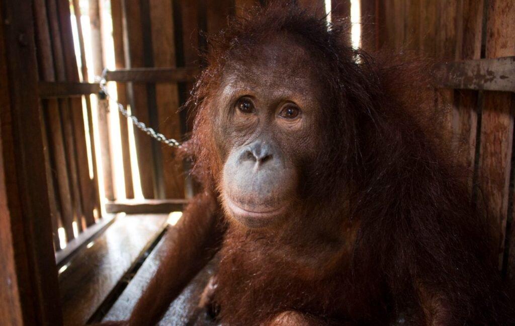 Orángután 6 évig volt leláncolva