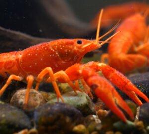Betiltanák az Egyesült Királyságban a homárok élve főzését