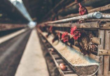 Bezárt egy csirkefarm a koronavírus miatt