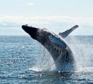 Egy új technológia megmentheti a bálnákat a haláltól