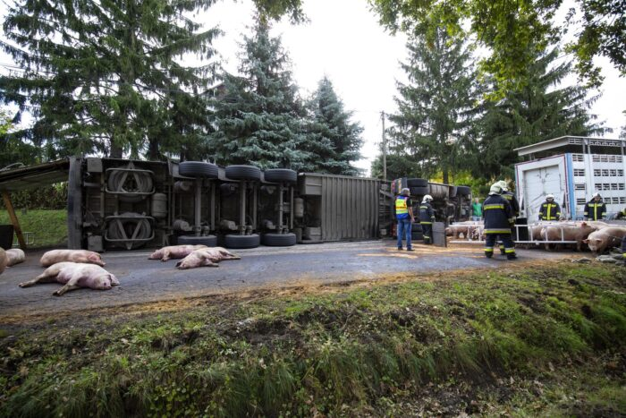 Halott és sérült malacok a 68-as főúton