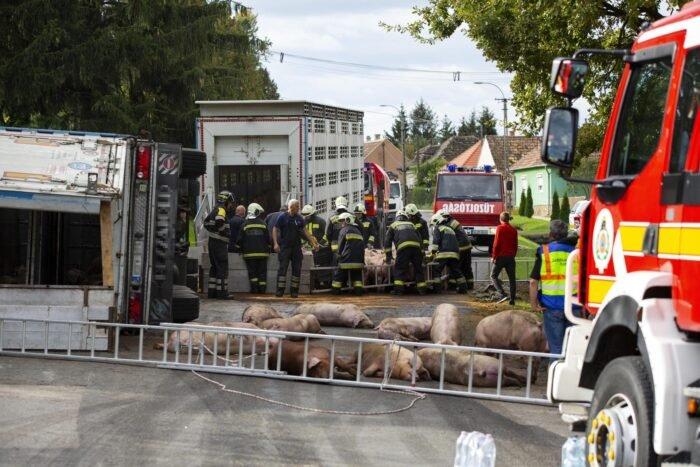 Halott sertések az úton, egy felborult kamion mellett