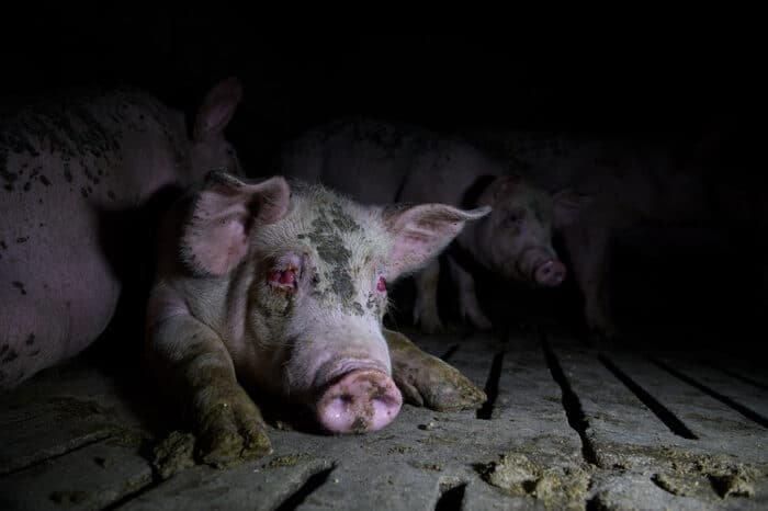 Látássérült sertés a nagyipari farmon