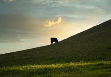 Tehenek egy zöld mezőn